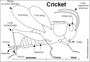 Cricket Anatomy