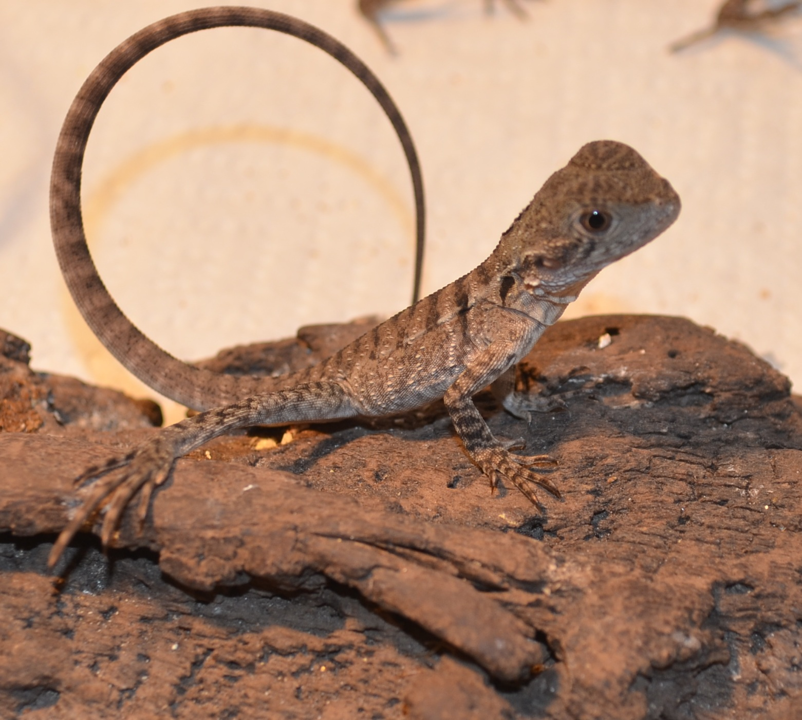 Eastern water dragon- young