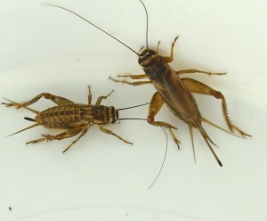 European house crickets- young and old