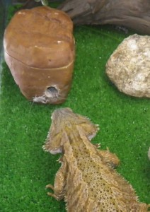 Feeding crickets to bearded dragons