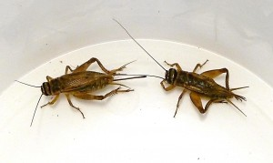 Male and female house cricket