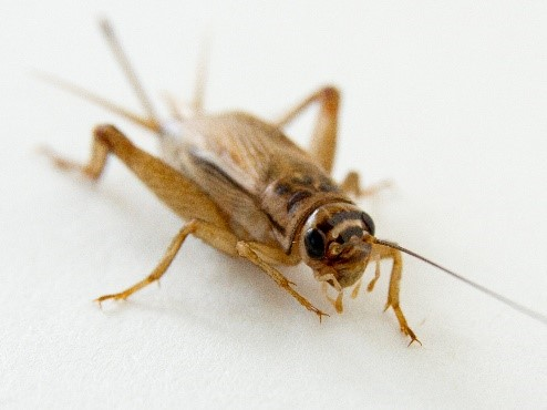 House Cricket-Acheta domestica-angled